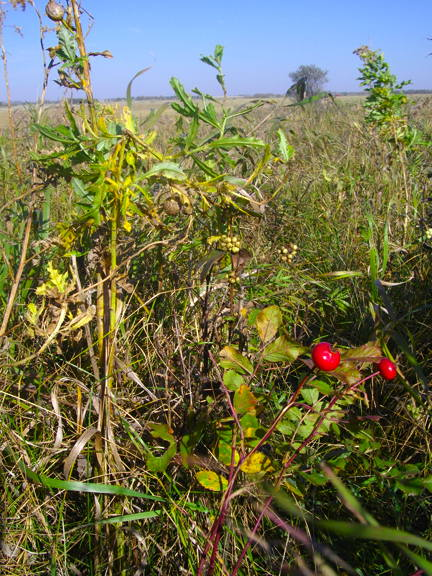 Rose hips and bufflo berries on the North Dakota prairie