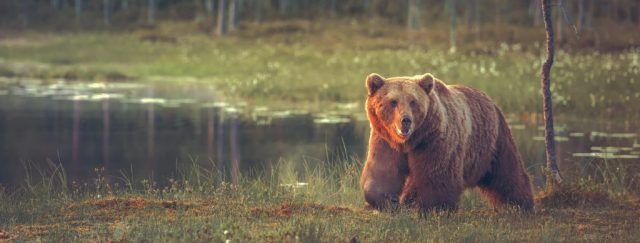 Big male bear walking in the bog at sunset. Sized to fit for cover image on popular social media site