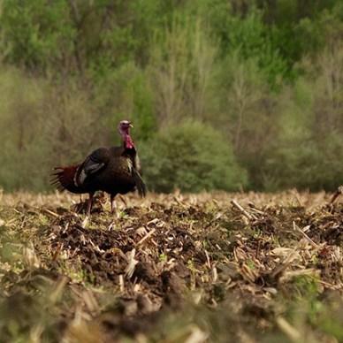 Tom turkey walking through a plowed corn field