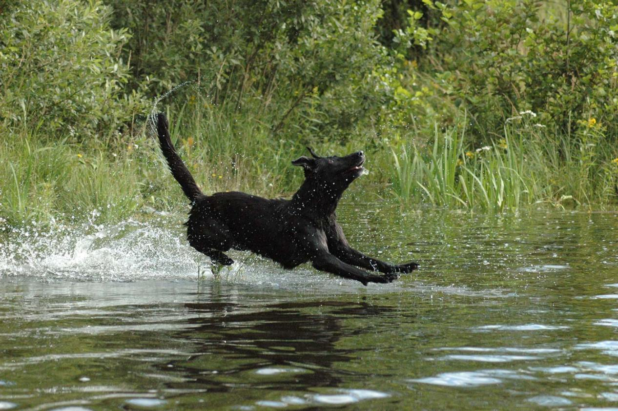 Black Dog Jumping into Water