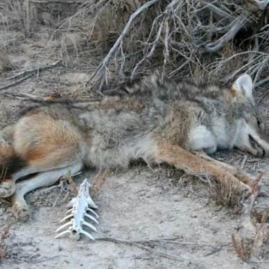 Good-Coyote