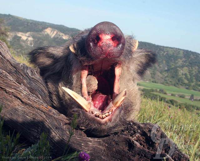 Wild boar posed showing tusks,