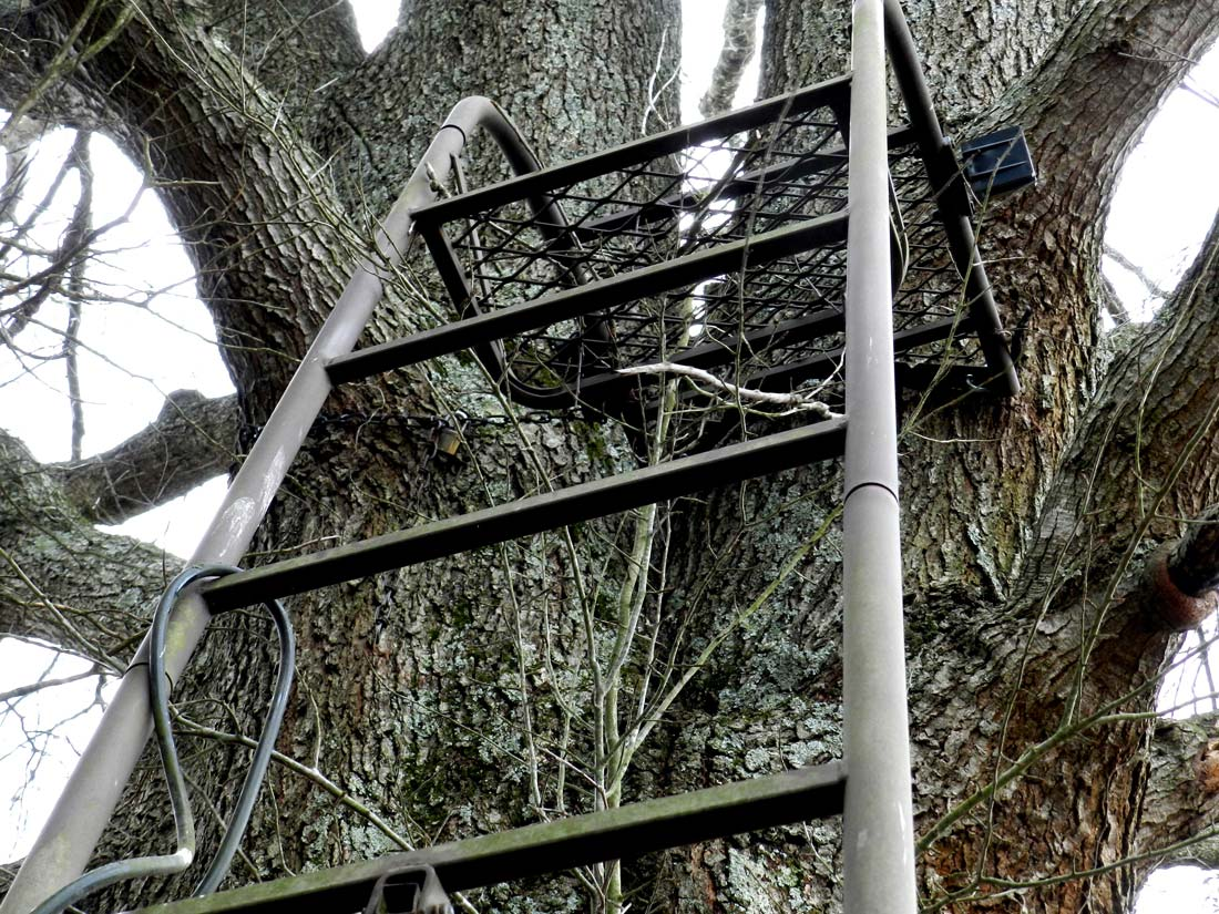 Large tree with a silver tree ladder leaning against it.