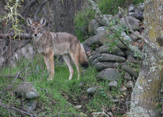 Coyote standing in front of a rock pile