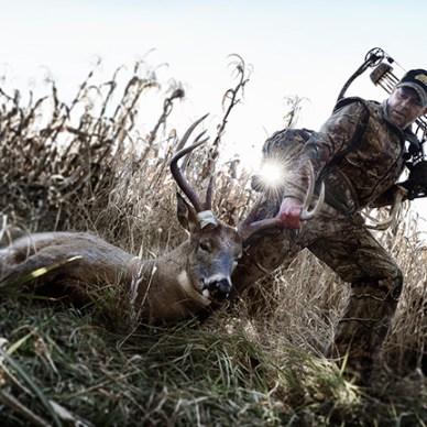 Bowhunter dragging whitetail deer through cornfield