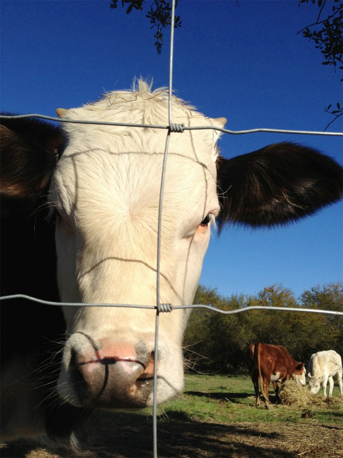USDA Cow