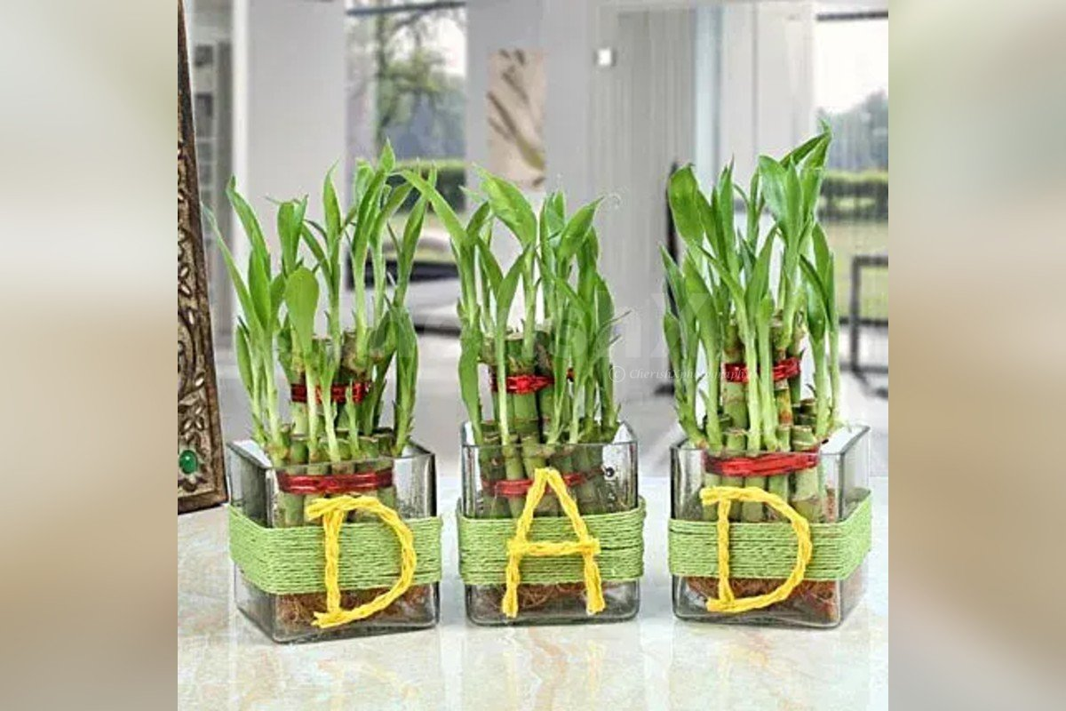 Bamboo Plants to gift your close ones