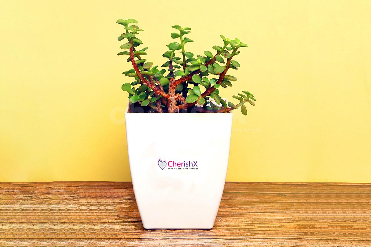 Jade Plant to gift your close ones