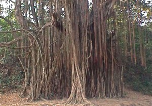 Banyan tree, Assagao