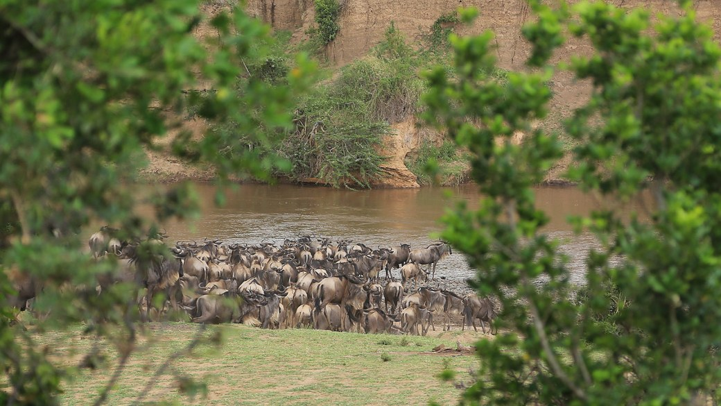Gnus am Mara River