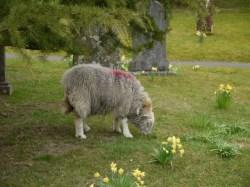 A Sheep in the Churchyard
