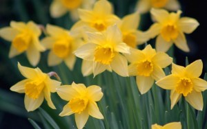 nergiss 600x375 - The story of the Daffodil flower, daffodils and maintenance benefits