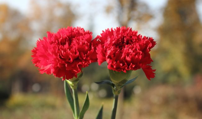 k%C4%B1rm%C4%B1z%C4%B1 karanfil 650x384 - The Carnation Flower Is Grown How?