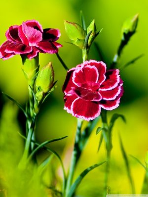 pink carnation flowers wallpaper 768x1024 300x400 - The Carnation Flower Is Grown How?