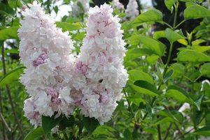 beyaz leylak 300x201 - Lilac flower