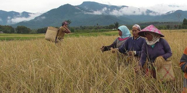 Kaum perempuan memanen padi di desa pedalaman Tanjung Alam di dataran tinggi Provinsi Jambi, Sumatra. Foto koleksi Rainforest Action Network/flickr