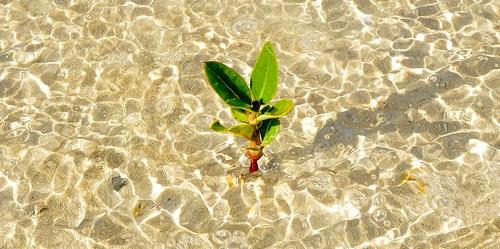 Sebuah pohon mangrove muda di ekosistem mangrove di Doha, Qatar. Photo oleh Neil Palmer/CIAT untuk CIFOR.