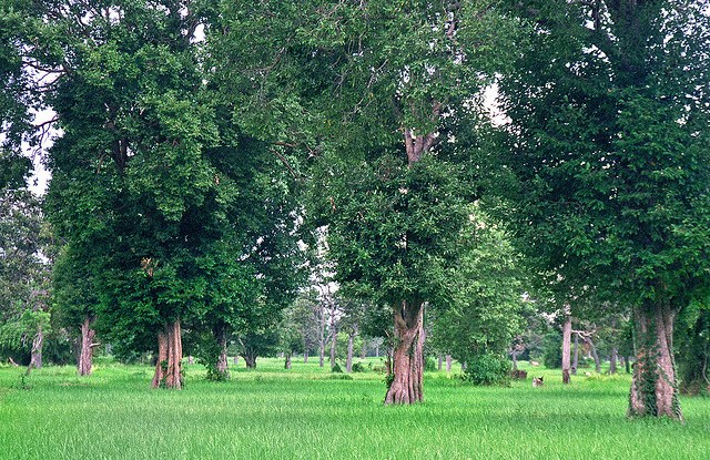 If a tree species is to survive, its population must be large enough to allow for genetic diversity.