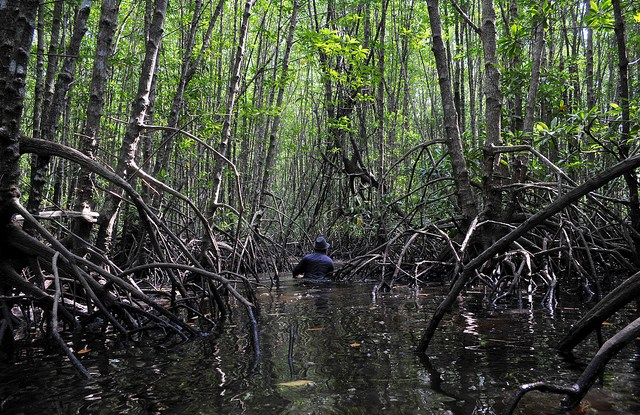 Mangrove ecosystems are favored for shrimp production because they are flooded twice a day in intertidal areas between land and sea, with brackish water creating an ideal habitat.