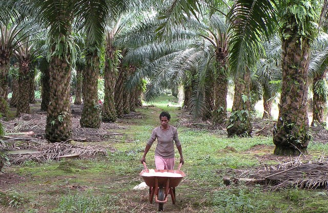 Indonesia is the world's largest producer of crude palm oil, accounting for 45 percent of global output.