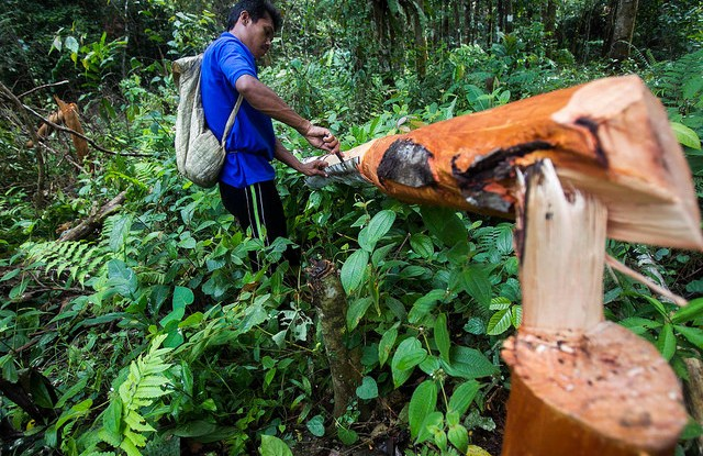 A cinnamon farmer, Hadari, harvesting cinnamon in the forest near Lubuk Beringin village, Bungo district, Jambi province, Indonesia. Forests have become an integral part of Lubuk Beringin, Jambi province, as the villagers have carried out forest management and exploitation in a sustainable manner by implementing traditional values. Tri Saputro/CIFOR photo