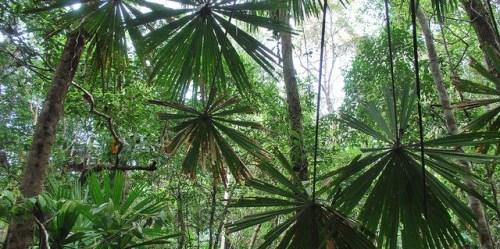 Pepohonan di taman nasional Berbak di Jambi. Dana Iklim Hijau semakin penting terkait dengan prioritas finansial tata guna lahan dan sektor kehutanan. Foto @CIFOR