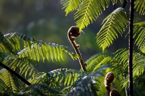Helechos en el Parque Nacional Gunung Halimun-Salak, Java Occidental, Indonesia. Una encuesta de gestores de fondos para el cambio climático ha encontrado que habría beneficios claros al integrar medidas de adaptación al cambio climático en proyectos de mitigación. Foto: Mokhamad Edliadi/CIFOR.