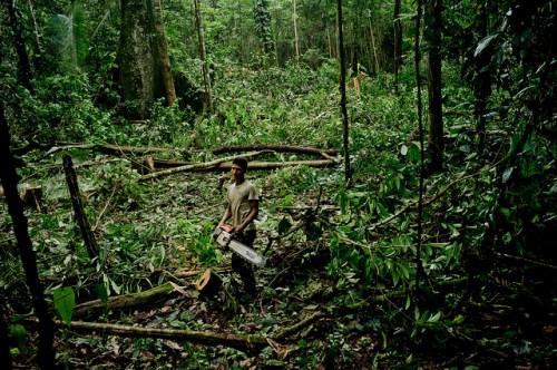 Un poblador kichwa corta un árbol cerca del río Napo, Orellana, Ecuador. Una nueva red de instituciones globales busca estimar cómo se recuperan los bosques después de la tala selectiva. Foto Tomas Munita/CIFOR.