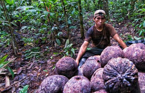 Harvesting Brazil nuts in the Peruvian Amazon. Marco Simola/CIFOR photo.