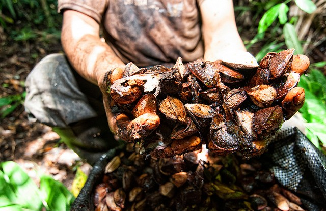 The REDD+ project in Madre de Dios is run by Bosques Amazonicos (BAM), a private company that has partnered with an association of Brazil nut collectors. Marco Simola / CIFOR.