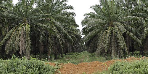 An oil palm plantation in southwestern Cameroon. Flore de Preneuf/PROFOR photo