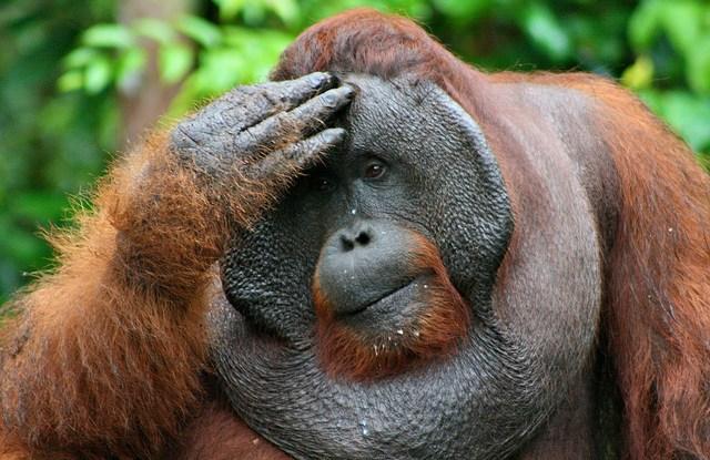 Seekor orang utan Indonesia. Populasi orangutan Sumatra -- tanpa menyinggung populasi spesies hewan ikonik lainnya -- dapat mengalami kerusakan parah akibat rencana perluasan jalan menembus wilayah berhutan di pulau itu, demikian pendapat sebuah studi. Terry Sunderland/foto CIFOR