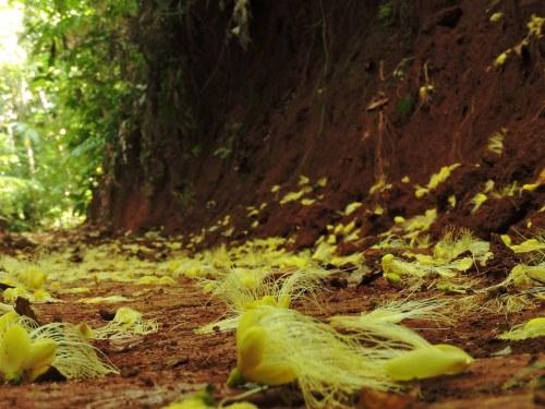 Flores de Caryocar, nativas de Costa Rica. Los esquemas para pagos por servicios ambientales, como la biodiversidad, requieren mayor rigor científico según un grupo de expertos. Fotografía de Reinaldo Aguilar.