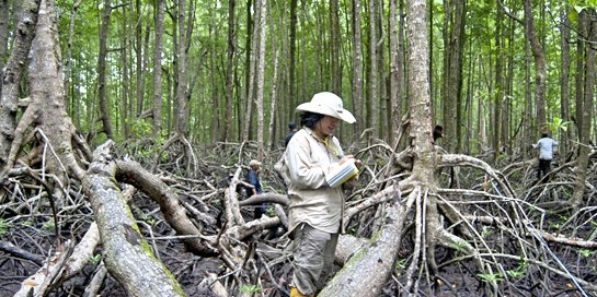 "Indonesia's 2.9 million hectares of mangroves are ""globally significant sinks of carbon"". Kate Evans/CIFOR"