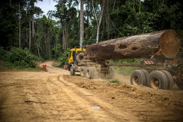 Could timber plantations boost forest conservation?