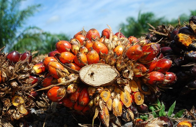Oil palm fruits in Jambi, Indonesia.  Iddy Farmer CIFOR
