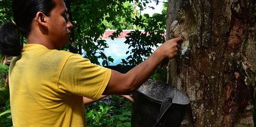 Petani memanen getah damar, salah satu hasil hutan non kayu.