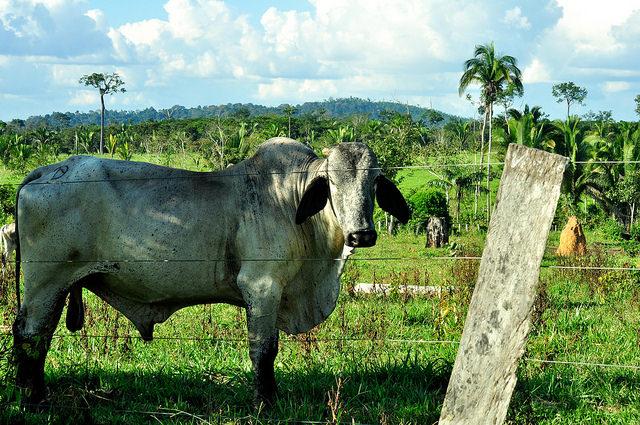 Consideraciones para una producción ganadera sostenible en la Amazonía brasileña