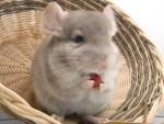 La chinchilla como mascota, ¿qué es y qué comen?
