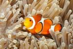 Consejos básicos para cuidar a tu pez payaso de la forma adecuada