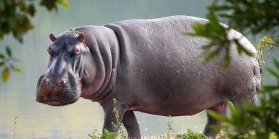 9 curiosidades sobre los hipopótamos que te sorprenderán