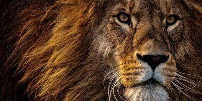7 Curiosidades acerca de los leones