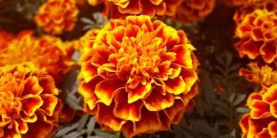 Flor de Cempasúchil, un ícono del Día de Muertos