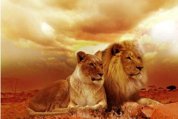 pareja de leone macho y hembra recostados - Claro Shop