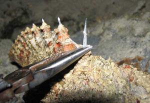 stonefish-spines