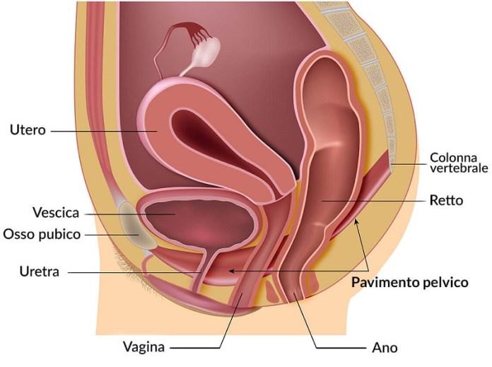 cliomakeup-ginnastica-pelvica-2-anatomia-pavimento-pelvico