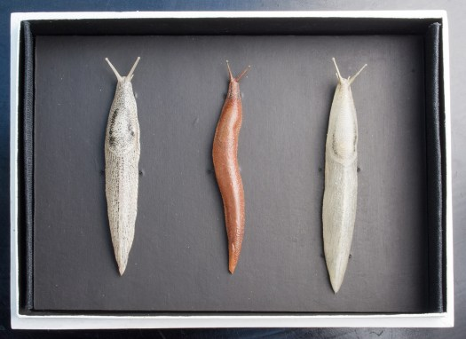Leopold and Rudolf Blaschka, Three glass models of slugs, Mid-to late 19th century, Length: 9 cm (31/2 in) Germany. © Rosamond Purcell, 2015
