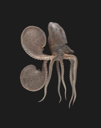 Blaschka Nr. 549, Argonauta argo (1885); Argonauta argo (2016)