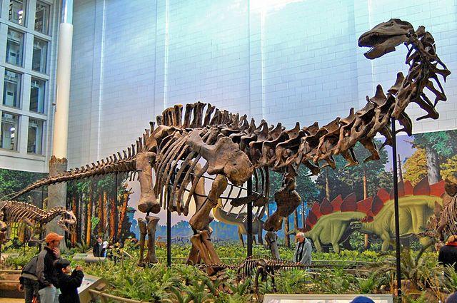 Brontosaurus / Apatosaurus skeleton