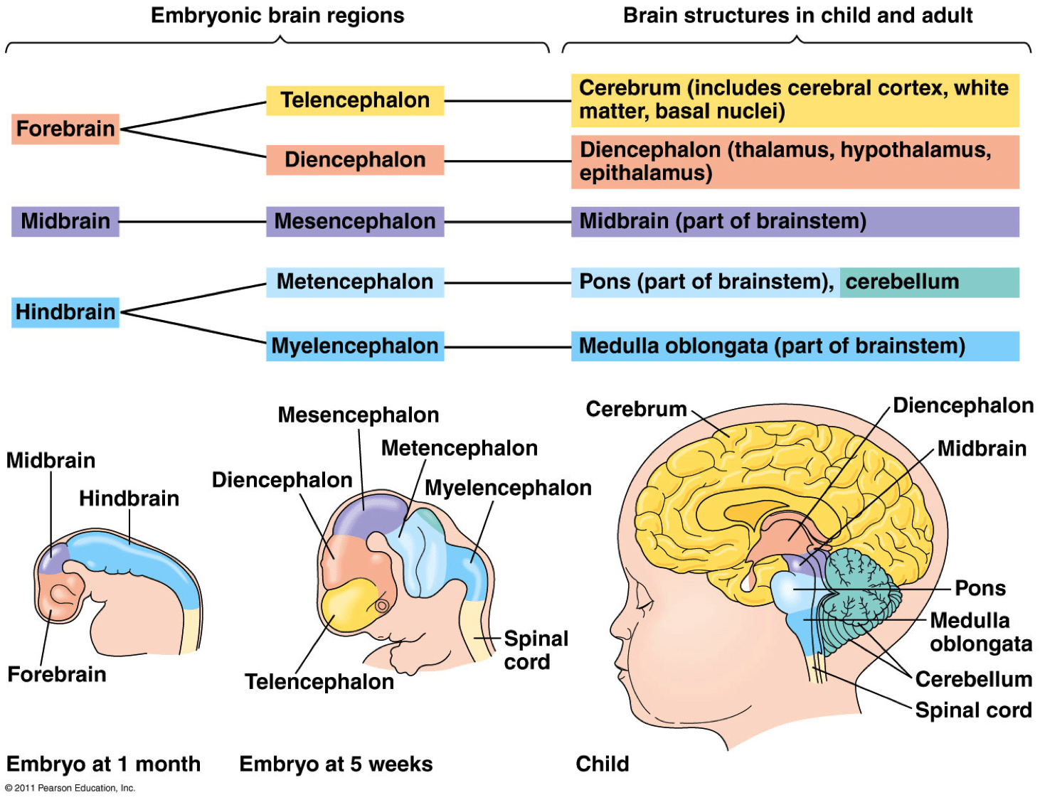 Brain Diagram Pearson Education Worksheet